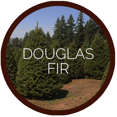 pioneer-douglas-fir-RED