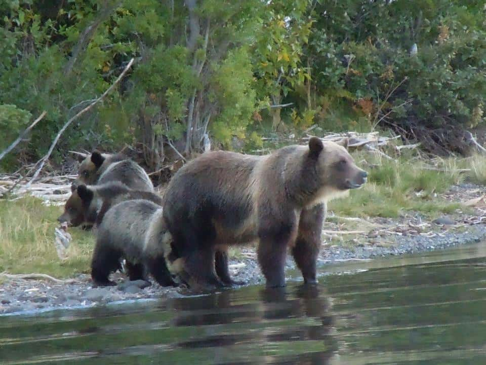 Grizzly Bears - Our Neighbours